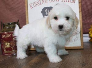 8 week puppy